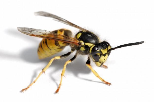 viespi-solutii-insecticid-capcane
