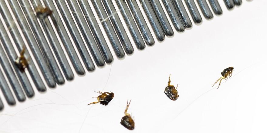 purici-insecticide-tratamente
