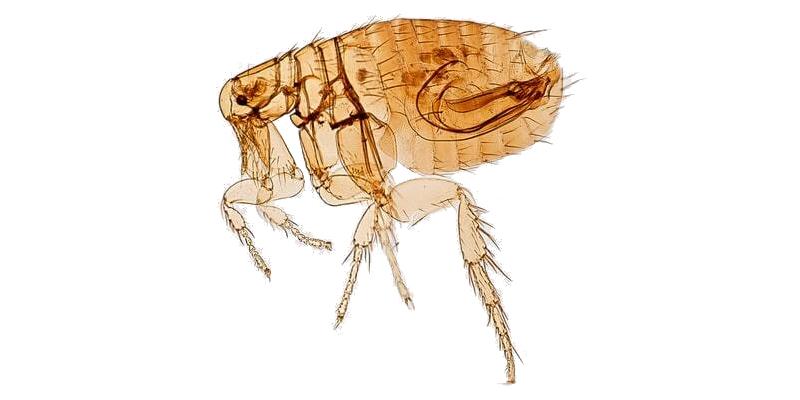 purici-tratamente-insecticide