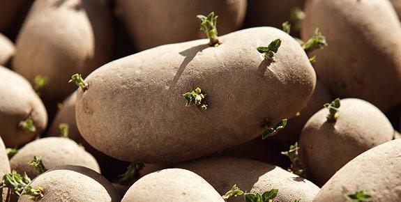 cartofi incoltiti 2