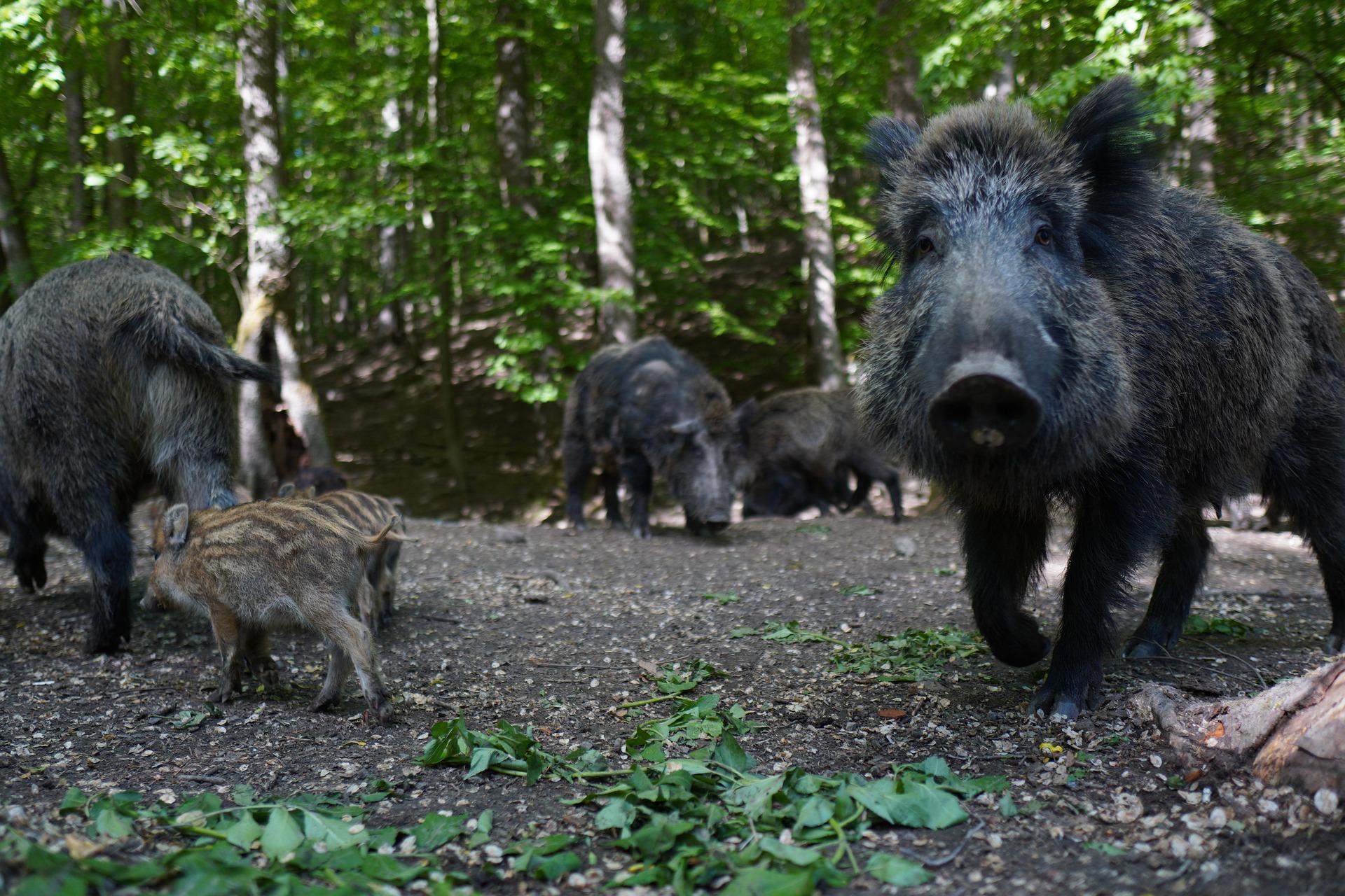 scapa-de-porcii-mistreti