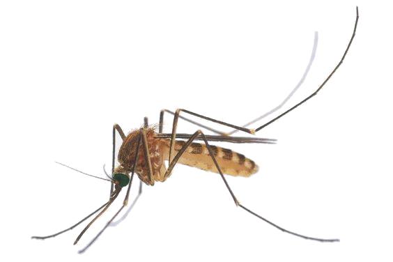 Informații de bază despre țânțarii tropicali. Tantarii sunt insecte care suge sange