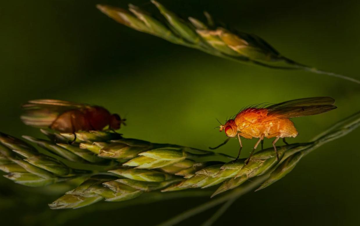 musculita-otet-insecticide-capcane